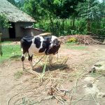 The Water Project: Mukangu Community, Lihungu Spring -  Cow Grazing