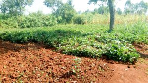 The Water Project:  Sweet Potato Farm