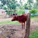 The Water Project: Bukhakunga Community, Khayati Spring -  Family Cow Grazing