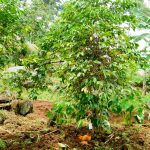 The Water Project: Ngeny Barak Community, Ngeny Barak Spring -  Coffee Tree