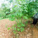 The Water Project: Wajumba Community, Wajumba Spring -  Cassava Farm