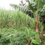 The Water Project: Musango Community, Mwichinga Spring -  Sugarcane Farm