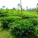 The Water Project: Wajumba Community, Wajumba Spring -  Tea Plantation