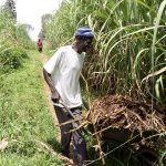 The Water Project: Musango Community, Mwichinga Spring -  Sugarcane Farming