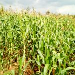 The Water Project: Ingwe Primary School -  Maize Farm Nearby