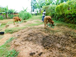 The Water Project:  Cows Grazing In Community