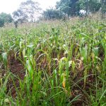 The Water Project: Malava Community, Ndevera Spring -  Crops