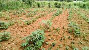 The Water Project:  Cassava Farm