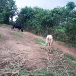 The Water Project: Malava Community, Ndevera Spring -  Cows Grazing