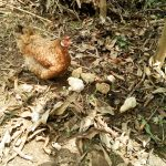 The Water Project: Musango Community, Emufutu Spring -  Chickens