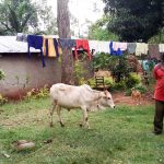 The Water Project: Musango Community, Emufutu Spring -  Man With His Cow