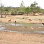 The Water Project: Kithoni Primary School -  Cattle Drink From Seasonal River