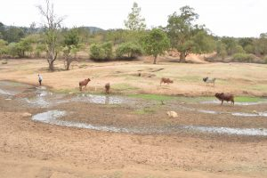 The Water Project:  Cattle Drink From Seasonal River