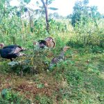 The Water Project: Mutao Community, Shimenga Spring -  Wild Turkeys