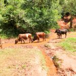 The Water Project: Mutao Community, Kenya Spring -  Animals Drink From Spring