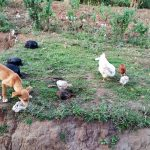 The Water Project: Shihungu Community, Shihungu Spring -  Community Animals