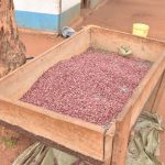 The Water Project: Kamulalani Primary School -  Sorted Beans For Cooking