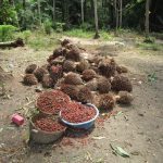 The Water Project: Transmitter, #14 Port Loko Road -  Harvested Palm Fruit