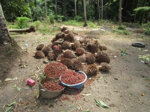 The Water Project:  Harvested Palm Fruit