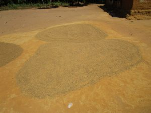 The Water Project:  Harveted Rice Drying Under Sun