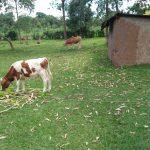 The Water Project: Ikonyero Community, Amkongo Spring -  Cows Grazing