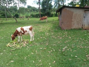 The Water Project:  Cows Grazing