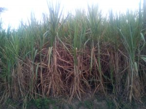 The Water Project:  Sugarcane
