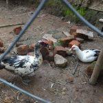 The Water Project: Eshikhugula Community, Shaban Opuka Spring -  Community Member Raises Domestic Ducks