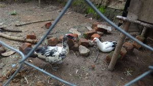The Water Project:  Community Member Raises Domestic Ducks