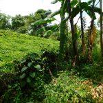 The Water Project: Kapsambo Community, Muhingi Spring -  Tea Farm