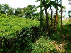 The Water Project:  Tea Farm
