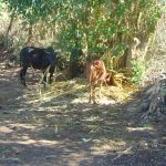 The Water Project: Shamiloli Community, Kwasasala Spring -  Cows Grazing