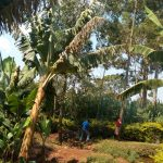 The Water Project: Lutonyi Community, Lutomia Spring -  Banana Farm