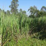 The Water Project: Bungaya Community, Charles Khainga Spring -  Sugarcane