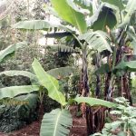 The Water Project: Buhayi Community, Nasichundukha Spring -  Banana Trees