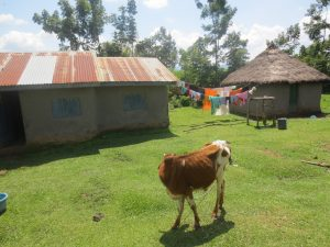 The Water Project:  Cow Grazing At Household
