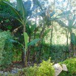 The Water Project: Shamiloli Community, Kwasasala Spring -  Banana Trees