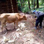 The Water Project: Mushina Community, Shikuku Spring -  Cow