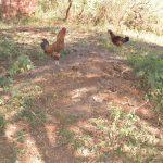 The Water Project: Mukuku Community -  Chickens