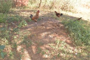 The Water Project:  Chickens