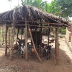 The Water Project: Kimigi Kyamatama Community -  Livestock Pen