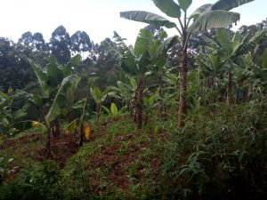 The Water Project:  Banana Farm