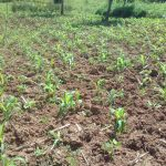 The Water Project: Lusiola Community, Ifetha Spring -  Farm