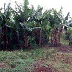 The Water Project: Shamakhokho Community, Imbai Spring -  Banana Trees