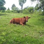 The Water Project: Buyangu Community, Osundwa Spring -  Cow Relaxing