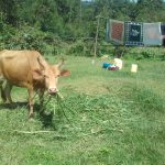 The Water Project: Lusiola Community, Ifetha Spring -  Cow Grazing At A Homestead