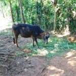 The Water Project: Ebutindi Community, Esilaba Anjere Spring -  Cow Grazing