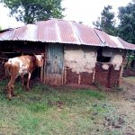 The Water Project: Shamakhokho Community, Imbai Spring -  A Cow Grazing At Home