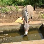 The Water Project: Wamwathi Community -  Donkey Drinks At Rock Catchment