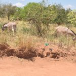 The Water Project: Kathonzweni Community A -  Donkeys Grazing